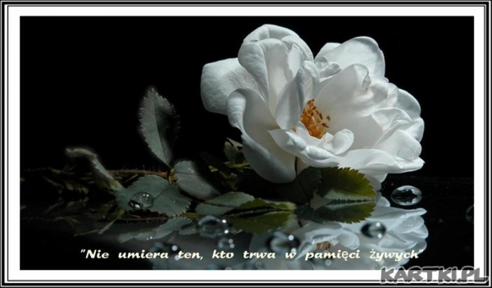 zdjęcie białej róży